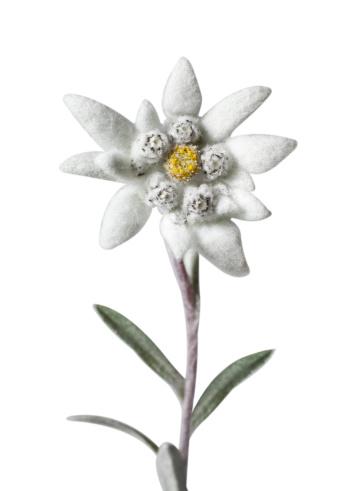 Edelweiss - Flower「Edelweiss」:スマホ壁紙(1)