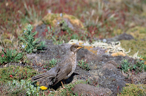 Falkland Islands「Austral Thrush」:スマホ壁紙(19)