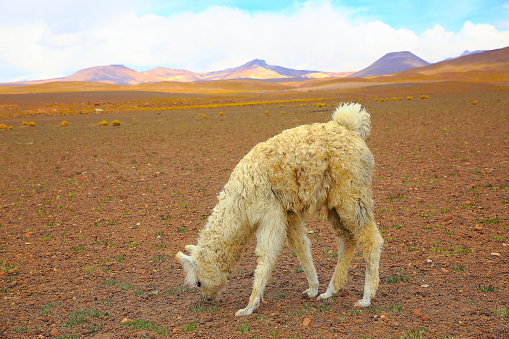 Bolivian Andes「Alpaca andean llama young animal grazing, animal wildlife in Bolivian Andes altiplano and Idyllic Atacama Desert, Volcanic landscape panorama – Potosi region, Bolivian Andes, Chile, Bolívia and Argentina border」:スマホ壁紙(1)