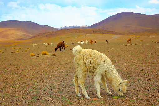 Bolivian Andes「Alpaca andean llamas and young animal, animal wildlife in Bolivian Andes altiplano and Idyllic Atacama Desert, Volcanic landscape panorama – Potosi region, Bolivian Andes, Chile, Bolívia and Argentina border」:スマホ壁紙(19)