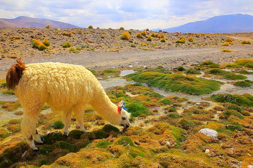 Bolivian Andes「Alpaca andean llama, animal wildlife in Bolivian Andes altiplano and Idyllic Atacama Desert, Volcanic landscape panorama – Potosi region, Bolivian Andes, Chile, Bolívia and Argentina border」:スマホ壁紙(13)