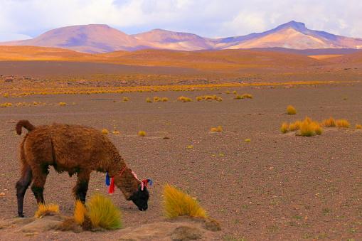 Bolivian Andes「Alpaca andean llama, animal wildlife in Bolivian Andes altiplano and Idyllic Atacama Desert, Volcanic landscape panorama – Potosi region, Bolivian Andes, Chile, Bolívia and Argentina border」:スマホ壁紙(17)