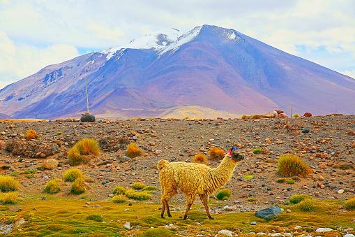 Bolivian Andes「Alpaca andean llama, animal wildlife in Bolivian Andes altiplano and Idyllic Atacama Desert, Volcanic landscape panorama – Potosi region, Bolivian Andes, Chile, Bolívia and Argentina border」:スマホ壁紙(8)