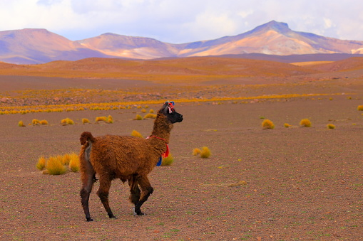 Vicuna「Alpaca andean llama, animal wildlife in Bolivian Andes altiplano and Idyllic Atacama Desert, Volcanic landscape panorama – Potosi region, Bolivian Andes, Chile, Bolívia and Argentina border」:スマホ壁紙(15)