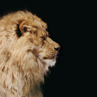 Animal Mane「Lion Profile」:スマホ壁紙(7)