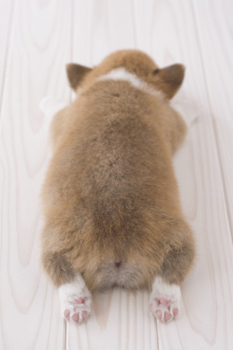 かわいい「Pembroke welsh corgi lying down」:スマホ壁紙(13)