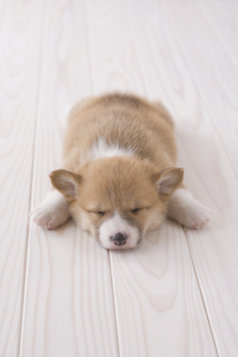 かわいい「Pembroke welsh corgi lying down」:スマホ壁紙(19)