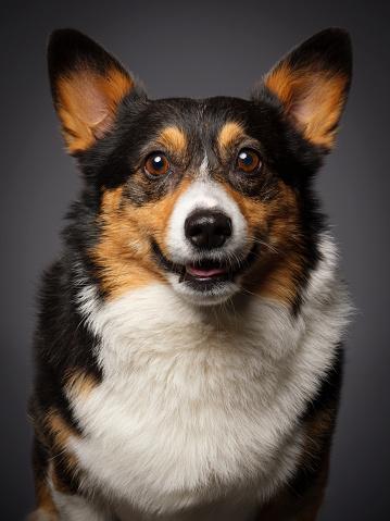 カメラ目線「コーギー犬」:スマホ壁紙(9)