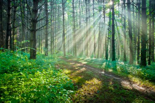 森林「加わって欲しいの木の森の散歩道」:スマホ壁紙(12)