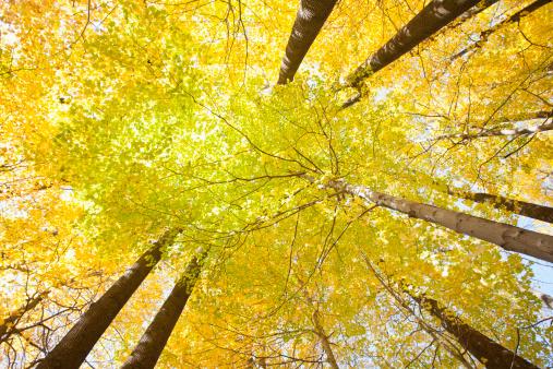 サトウカエデ「Autumn Sugar Maples」:スマホ壁紙(19)