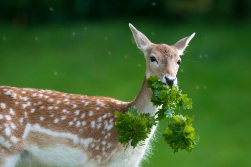Eating「Fallow deer doe (female) with oak tree branch」:スマホ壁紙(16)