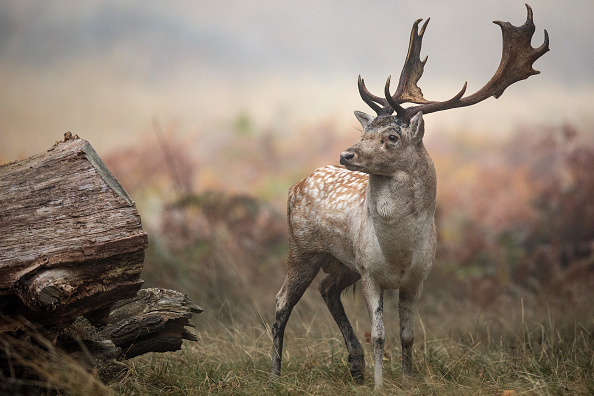 Stag「Deer Rutting In Richmond Park」:写真・画像(7)[壁紙.com]