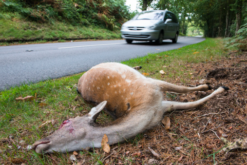 ガラス「Fallow deer doe roadkill on verge」:スマホ壁紙(5)