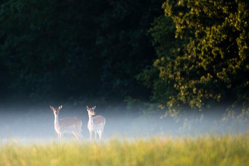 Fairy Tale「Fallow deer does in early morning mist」:スマホ壁紙(18)