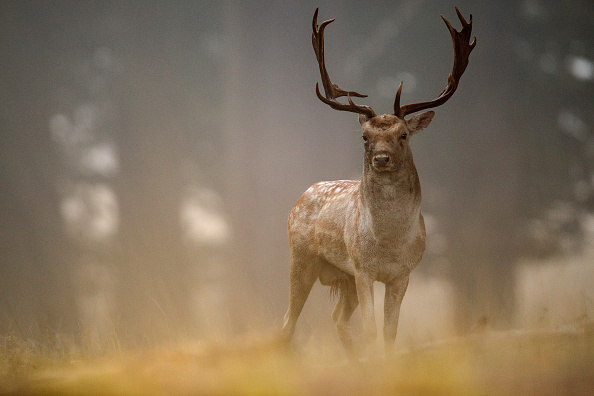 Stag「Deer Rutting In Richmond Park」:写真・画像(1)[壁紙.com]