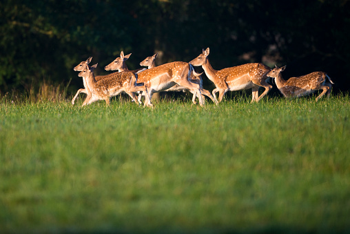 Focus On Background「Fallow deer herd on the move」:スマホ壁紙(6)