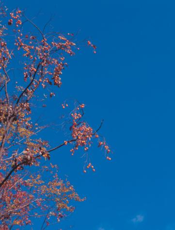 Persimmon Tree「Persimmons tree」:スマホ壁紙(19)