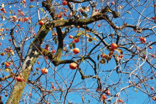 Persimmon Tree「Persimmons on tree」:スマホ壁紙(19)