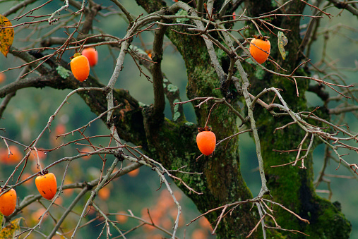 persimmon「Persimmons on tree」:スマホ壁紙(16)