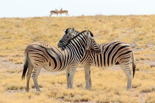 Kissing「Necking zebras (Equus burchellii) with springboks in background, Etosha National Park, Namibia」:スマホ壁紙(19)