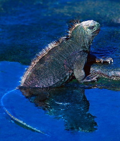 ガラパゴス諸島「Galapagos marine iguana (Amblyrhynchus cristatus)」:スマホ壁紙(1)