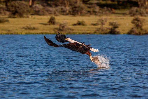 African Fish Eagle「An African Fish Eagle That Has Just Dived In The Lake Nakuru to Hunt」:スマホ壁紙(16)