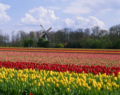 Focus On Background「The Netherlands, Holland, Keukenhof, windmill in tulip field」:スマホ壁紙(15)