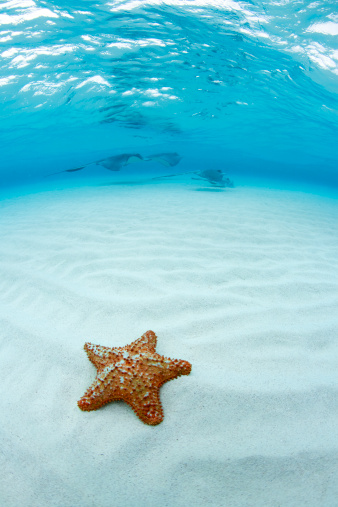 Cayman Islands「Starfish and Southern Stingray at Stingray City」:スマホ壁紙(7)
