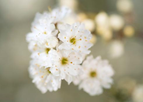 桜「prunus spinosa plena cherry blossom」:スマホ壁紙(2)