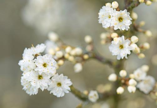 桜「prunus spinosa plena cherry blossom」:スマホ壁紙(1)