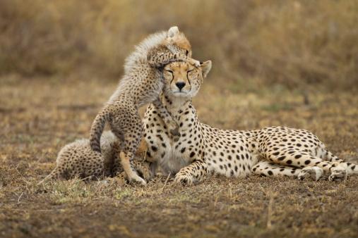 Ngorongoro Crater「Cheetah Cub with Mother, Ngorongoro, Tanzania」:スマホ壁紙(8)
