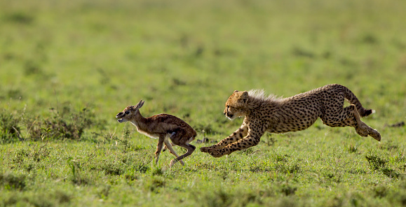 Animals Hunting「Cheetah cub chasing Thomson's Gazelle fawn」:スマホ壁紙(6)