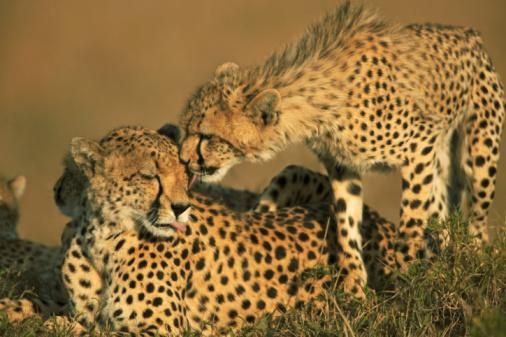 Love「Cheetah cub (Acinonyx jubatus) licking mother's face」:スマホ壁紙(16)