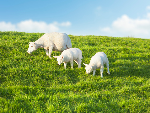Eating「Two young sheeps grazing with mother on a idyllic green meadow in spring」:スマホ壁紙(3)