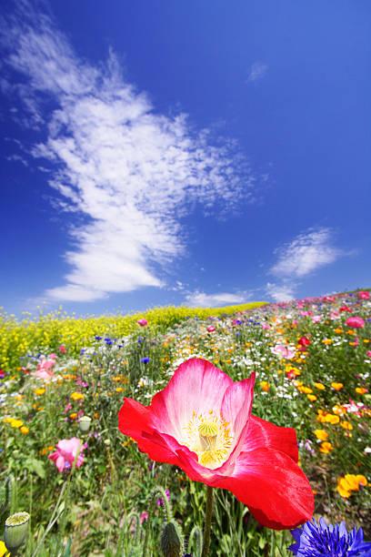 Poppy, Hokkaido Prefecture, Japan:スマホ壁紙(壁紙.com)