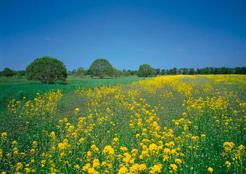 アブラナ「Field Mustard」:スマホ壁紙(10)