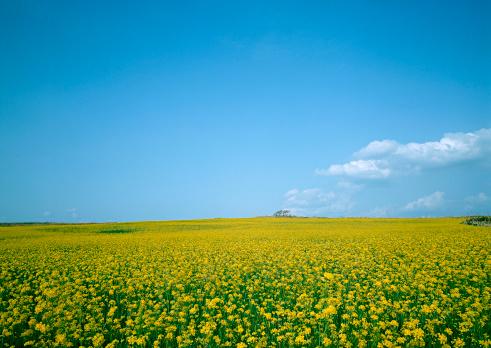 アブラナ「Field Mustard」:スマホ壁紙(6)
