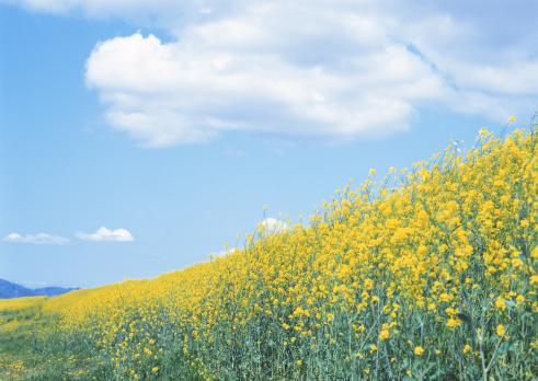 アブラナ「Field Mustard」:スマホ壁紙(11)
