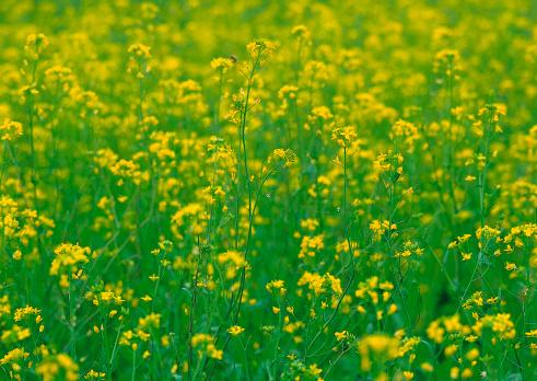 アブラナ「Field Mustard」:スマホ壁紙(9)