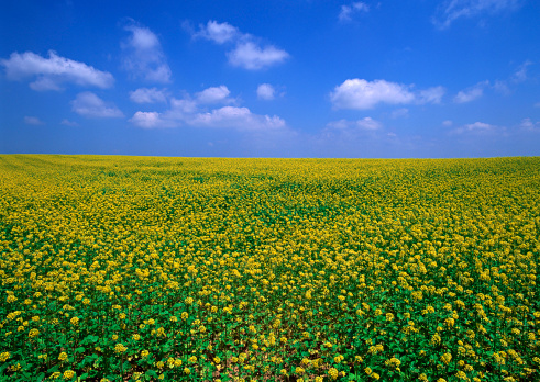アブラナ「Field Mustard」:スマホ壁紙(7)