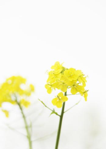 アブラナ「Field mustard」:スマホ壁紙(17)