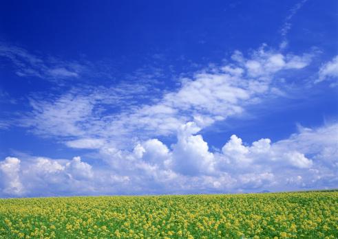 春「Field Mustard」:スマホ壁紙(7)