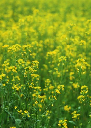 アブラナ「Field Mustard」:スマホ壁紙(8)
