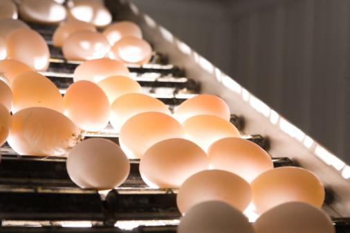 Belt「Mechanized conveyor rolling and candling eggs」:スマホ壁紙(1)