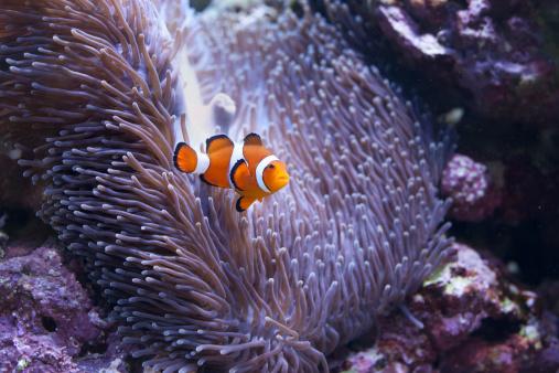カクレクマノミ「Salt water tropical fish」:スマホ壁紙(11)