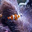 Clownfish壁紙の画像(壁紙.com)