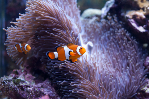 カクレクマノミ「Salt water tropical fish」:スマホ壁紙(12)