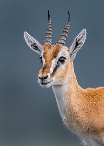 Gazelle「Thomson gazelle」:スマホ壁紙(13)