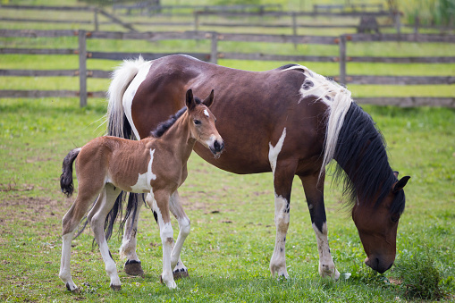Stallion「Brown white horse and foal on green enclosed pasture」:スマホ壁紙(0)