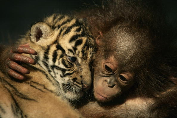 動物「Endangered Sumatran Tiger Cubs Born In Indonesia」:写真・画像(1)[壁紙.com]
